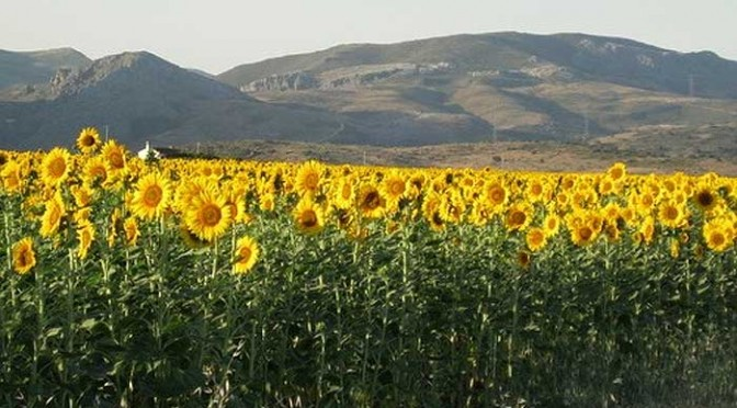 Sunflowers in Andalusia
