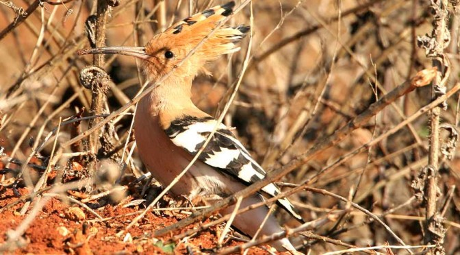 Hoopoe – Upupa Epops (Abubilla) in the Serranía de Ronda