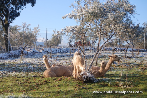 Andalucían Alpacas in the Snow