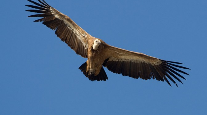 Griffon Vulture of the Serranía