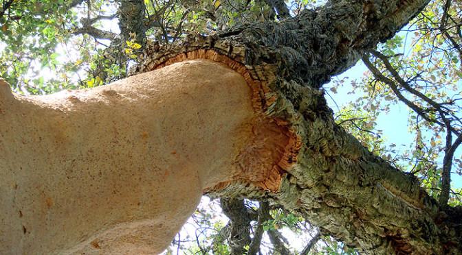 The Cork Tree, Quercus suber