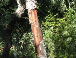 The Cork Tree, Quercus suber