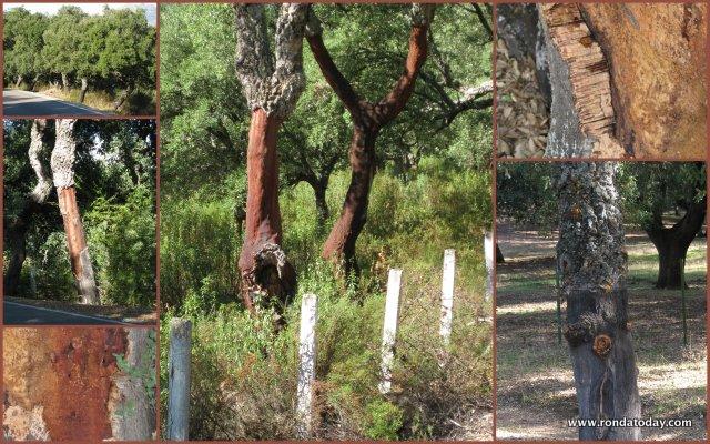 Quercus suber cork tree Andalucia